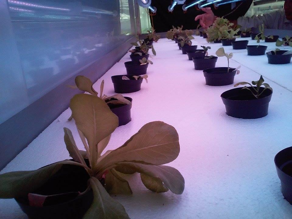 Trồng rau sạch trong nhà bằng đèn LED Grow Light